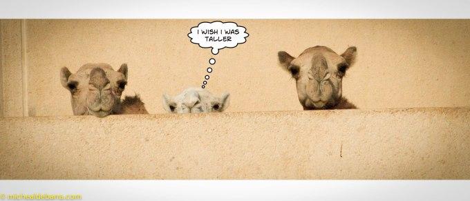 Camels Com